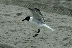Landing gull (philliefan99) Tags: seagulls beach birds newjersey sand nj atlanticcity jerseyshore atlanticocean atlanticcounty bonapartesgull larusphiladelphia
