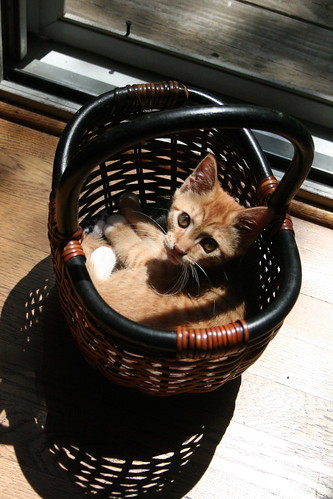 basket o' kitten