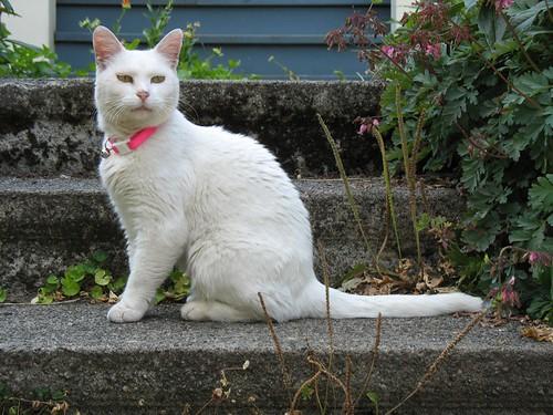 cute and pretty white cat