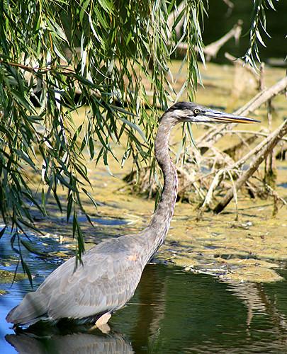 Riverside Heron