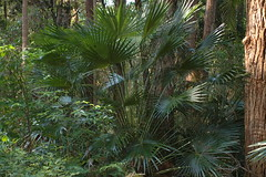 Livistona Australis - Cabbage Palm (Black Diamond Images) Tags: palms rainforest australia nsw queensland livistona arecaceae australiannatives livistonaaustralis australiannativeplants australianplants cabbagepalm rainforestplants rainforestplant arfp coffsharbourbotanicgardens rainforesttrees australianrainforestplant australianrainforestplants australianpalms northcoastregionalbotanicgardens ncrbgch nswrfp qrfp ncrbgcharfp