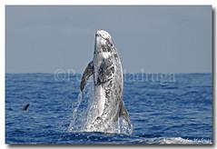 Grampus griseus (PedroMadruga) Tags: ocean sea wild dolphin wildlife azores aores golfinho naturesfinest openocean abigfave rissosdolphin anawesomeshot impressedbeauty diamondclassphotographer pedromadruga moleiro golfinhoderisso