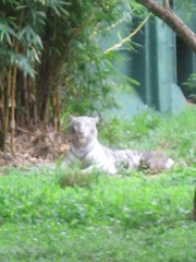 Sri Chamarajendra Zoological Gardens (dciandy) Tags: india zoo tiger mysore whitetiger bengaltiger whitebengaltiger mysorezoo srichamarajendrazoologicalgardens