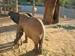 New baby elephant born today was up and walking in just 28 minutes.  Here she is with her mom Umoya. (kjdrill) Tags: california park wild usa baby elephant animal born cub sandiego african mother newborn calf today offspring escondido endangeredspecies umoya