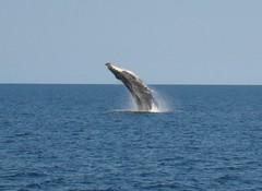 Breaching Humpback Whale (Phil Hartell) Tags: coral oz australia scuba diving wa whales humpback padi reef ningaloo westernaustralia breaching exmouth wildlifeofaustralia