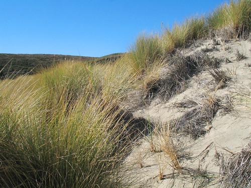 beach grasses near drake's estero