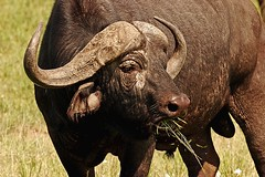 My Good Side (Picture Taker 2) Tags: africa wild nature beautiful closeup outdoors buffalo colorful pretty native wildlife curious wilderness plains upclose mammals capebuffalo wildanimals africaanimals masimarakenya