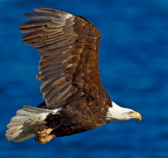 Flying fast and low above the Mississippi (Todd Ryburn) Tags: birds animals eagle wildlife baldeagle iowa raptor mississippiriver eagles raptors 2010 baldeagles specanimal avianexcellence lockdam14