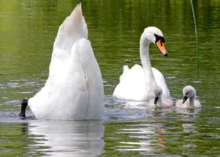 Embarrassing parents - swan duckling