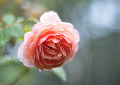 Rose (myu-myu) Tags: flower nature rain rose japan nikon 秋 mygarden 庭 raindrop abrahamdarby englishrose 水滴 バラ bej citrit planart1450zf イングリッシュローズ d300s アブラハムダービー