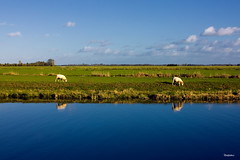 Sheep (reintjedevos [lay out - night mare for Admins]) Tags: netherlands landscape sheep click groningen leek landschap schapen gettyimage naturesgarden mywinners saturnaward betterthangood goldstaraward worldwidelandscapes yourpreferredpictures photossansfrontires reintjedevos damniwishidtakenthat ilikethenature pictureslovers naturescarousel noartistleftbehind betterthangoodlevel3 myopinioninphotos whaticallart