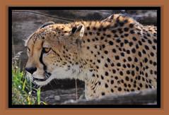 Cheetah on the Prowl (Jmarie999) Tags: cat cheetah denverzoo flickrbigcats