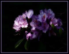 In the dark (Kirsten M Lentoft) Tags: sunlight topc25 topv111 dark purple rhododendron frame naturesfinest thebigone blueribbonwinner topvaa anawesomeshot superaplus aplusphoto momse2600 kirstenmlentoft