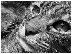 Twinkle (gemjimaroo) Tags: cat twinkle