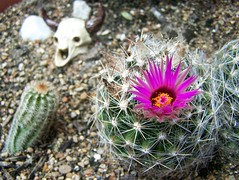 100_2854 (greenguy21) Tags: bokeh top20bokeh cactisucculentsbulbplants