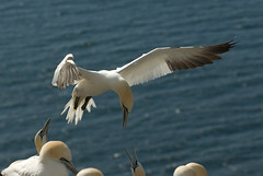 Northern Gannets, feeding on Bass Rock