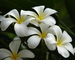 Beautiful White Flowers:Frangipani (K. Shreesh) Tags: flowers fab india nature searchthebest vivid pune excellence naturesfinest blueribbonwinner sonydsch1 supershot flowerotica flickrsbest mywinners 30faves30comments300views colorphotoaward impressedbeauty superbmasterpiece goldenphotographer theunforgetablepictures thechallengegame challengegamewinner