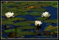 Three little Ladies (Kirsten M Lentoft) Tags: white lake flower topc25 waterlily searchthebest flowerotica abigfave momse2600 diamondclassphotographer flickrdiamond kirstenmlentoft
