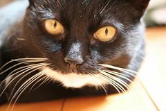 Close up McB (domfell) Tags: cat samba hull bestofcats boc0807