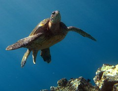 male green sea turtle above the reef (bluewavechris) Tags: ocean blue sea brown green water animal coral photography hawaii marine underwater turtle reptile shell diving maui snorkeling freediving reef creature flipper