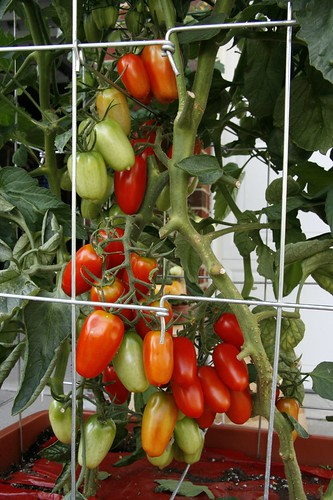 "Tomatoes Gardeners.com ""success kit"