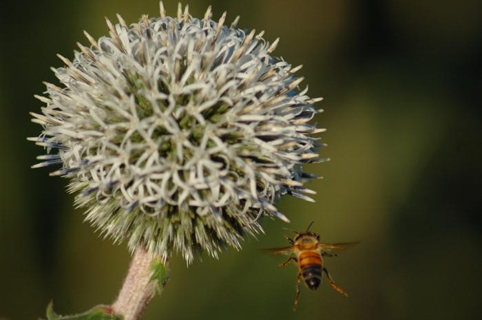 Regent's Bee