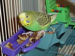 DSC03473 (PhotoPieces) Tags: bird budgie parakeet ilovebirds