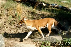 another Dhole, also moving fast