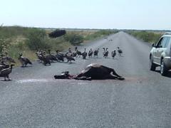 Anglų lietuvių žodynas. Žodis road-kill reiškia n amer.  gyvūno užmušimas transporto priemone 2 kelyje užmuštas gyvūnas lietuviškai.
