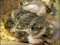 Hamster mass