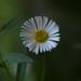 Tiny white daisy against green