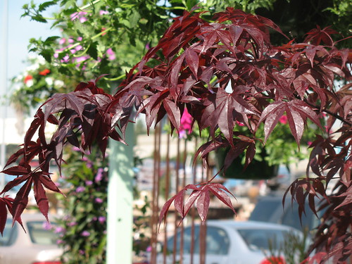 Japanese Maple foliage brown