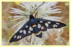 Amata phegea (PheCrew) Tags: macro insect bugs insetti phe amata soken erebidae lepidottero amataphegea overtheexcellence