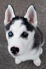 Puppy Dog Eyes (-Dons) Tags: usa dog eye face austin puppy husky tx siberianhusky