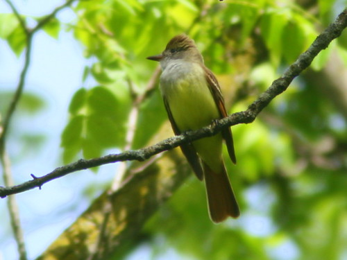 Great Crested Flycatcher 20100514