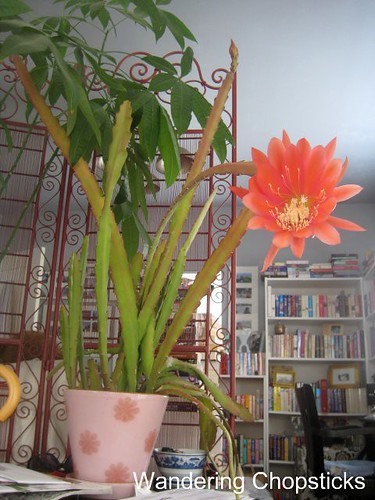 5.11 Pink Night-Blooming Cereus 6