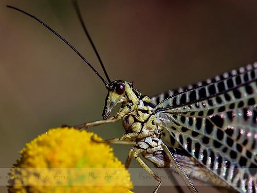 Nemoptera bipennis (Illiger, 1812)