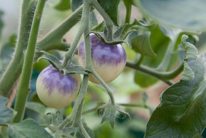 blueberry tomato
