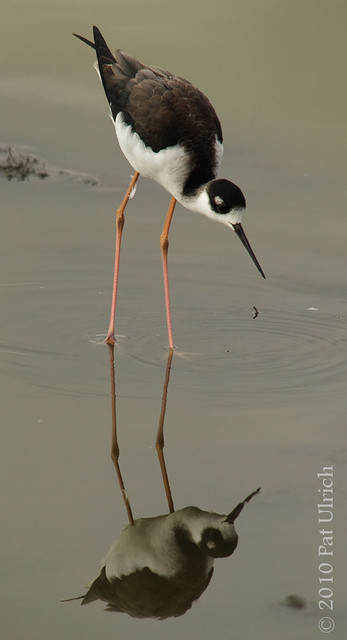 Black-necked stilt, with reflection