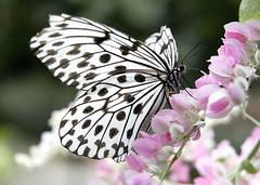 Butterfly at Phuket Butterfly Garden