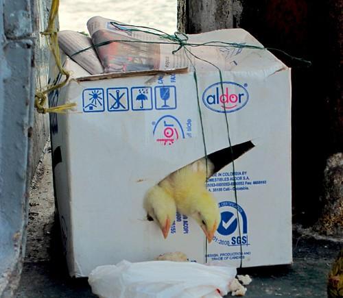 Pollitos sobreviven a 24 horas de viaje por mar