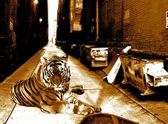 Concrete Jungle (Little Lioness) Tags: seattle orange nature animal dumpster cat photoshop artwork stripes tiger pride greeneyes bigcat alleyway predator pantheratigris concretejungle naturescreation sarahbartell