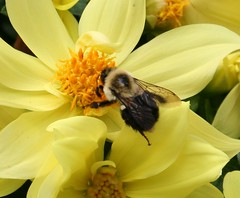 Busy as a Bee (Jeanie's Pics) Tags: dahlia flower nature wings bee explore busyasabee