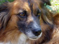 La Volpe (matteococco) Tags: portrait dog pet cane tia fur eyes sweet occhi dolce ritratto pelo thebigone cucciola