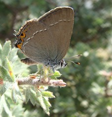 Sloe Hairstreak - Nordmannia acaciae (Camerar) Tags: butterfly blues insects greece buttterflies hairstreaks sloehairstreak nordmanniaacaciae