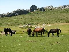 Retour direct sous la face N du Castellu d'Urnucciu: chevaux sur le Pianu d'Urnucciu après le col