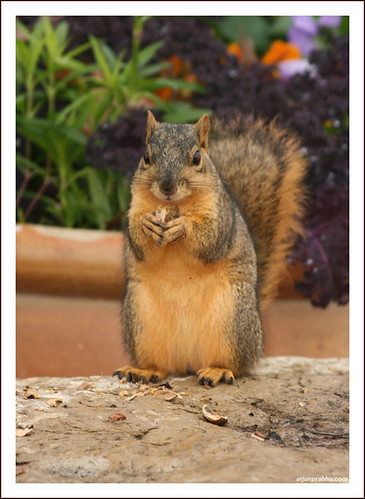 Squirrel eating Nut - Front Profile
