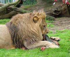 Food time (Helena Pugsley) Tags: food cat feeding eating lion eat bigcat tiny bigcats pantheraleo manzi gamewinner wildlifeheritagefoundation whf 15challengeswinner kafara