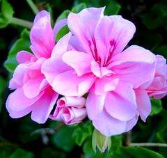 Blooming (eliselovesprada-sort of;-)) Tags: pink flower nature garden springtime ih supershot wowiekazowie flickrgolfclub
