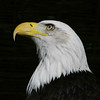 bald eagle (Leo Reynolds) Tags: eagle bird animal fauna zoo baldeagle utata grouputata canon eos 30d 14000sec f56 iso100 135mm 2ev xleol30x hpexif xratio1x1x xsquarex xx2007xx